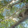 Birch tree  (Betula pubescens (White Birch))