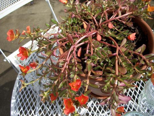 PORTULACA Moss-Rose (Portulaca grandiflora (Double Rose Moss))