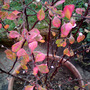 A_berberis_thunbergii_starburst_barberry_detail