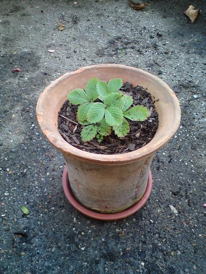 Likely strawberry... (Fragaria vesca (Alpine Strawberry))