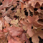 Heuchera_pinkwhisper_09feb17