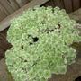 COTULA Hispida (Cotula hispida (Silver Cotula))