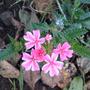 A_verbena_candy_pink