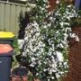 Jasmine (Jasminum polyanthum (Jasmine))
