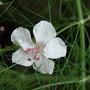 Geranium_cantabrigiensebiokovo_08june_1_