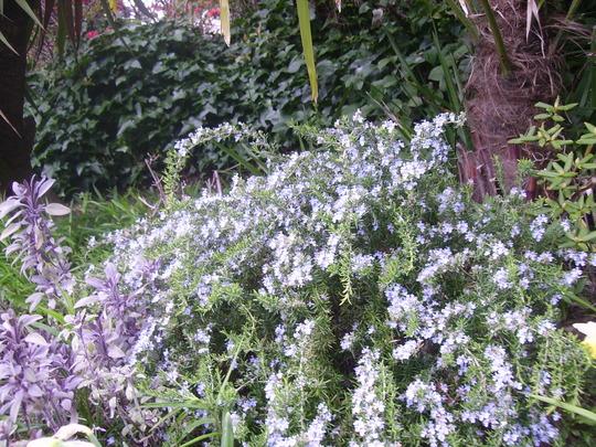 Rosemary in bloom (Rosmarinus officinalis procumbens)