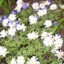 grecian windflower (Anemone blanda (Anemone))