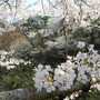 Cherry_blossom_closeup