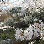 Cherry_blossom_closeup