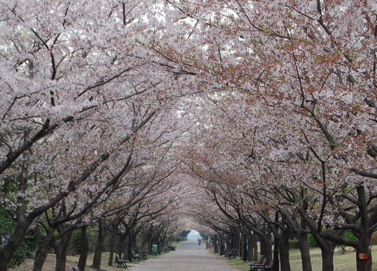 Cherry blossom lined path