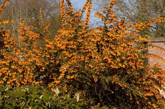 Splash of orange spring colour (Berberis darwinii)