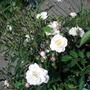 Rose 'Little Rambler'