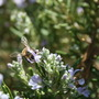 bees on the rosemary