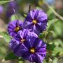 Solanum rantonnrtii (blue potato bush)