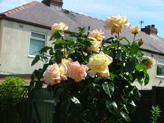 standard rose Peace
