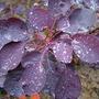 Cotinus coggyria 'Dusky Maiden'