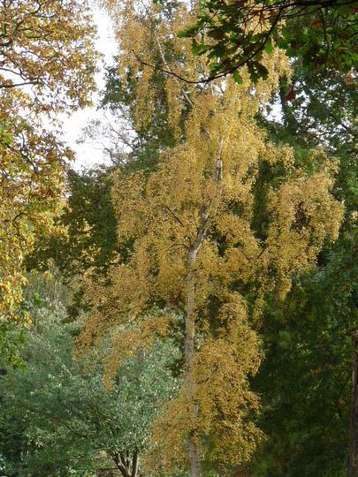 Silver Birch (Betula pendula (Silver birch))