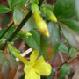 Winter Jasmine lighting up the wall again.....:o) (Jasminum nudiflorum (Winter jasmine))