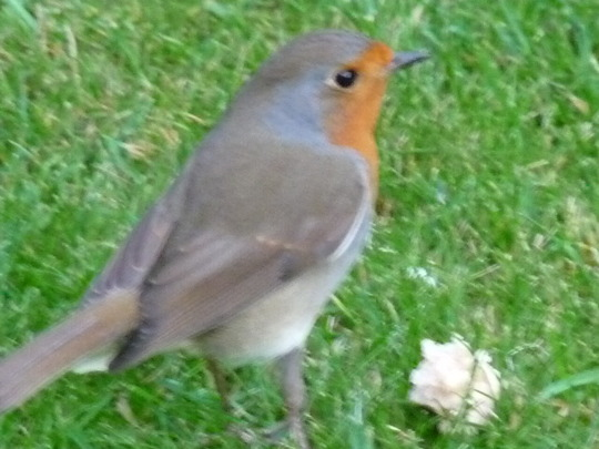 Robin keeping me company in the garden....:o)