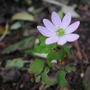 Anemonella_thalictroides_rosea_2