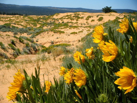 Closeup of Wildflower and Dunes