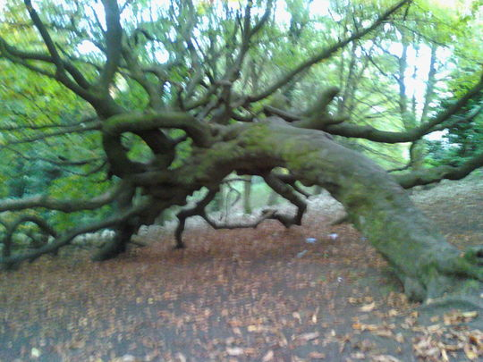 big tree at tollcross park