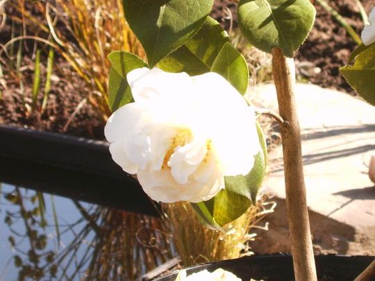 Camellia by pond (Camellia e.t.r. 'Carlyon')