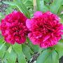 Peony Rose (Paeonia)