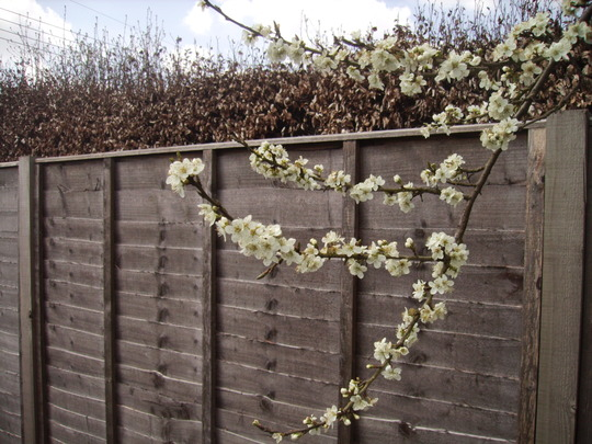Damson Blossom (Prunus insititia (Vistabile))