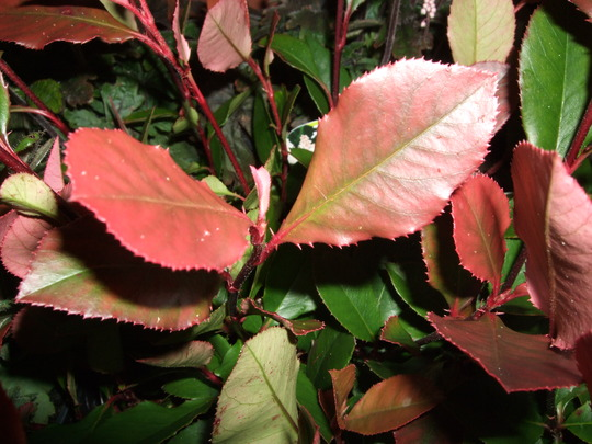 Little Red Robin leaves (Photinia)