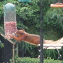 Wildlife - squirrel at feeder (stretch)
