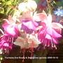 Fuchsias_eve_boerg_swingtime_upclose