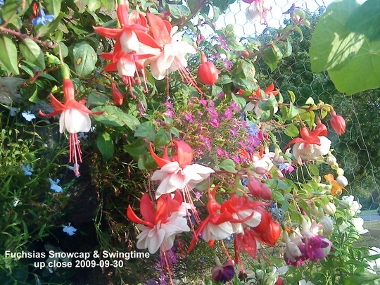 Fuchsias Snowcap & Swingtime close up 2009-09-30 (Fuchsia)