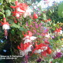 Fuchsias_snowcap_swingtime_close_up_2009_09_30