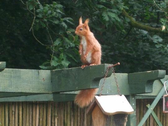 Wildlife - Squirrel on pergola