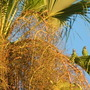 Aratinga holochlora - Green Conure Parrots (Aratinga holochlora - Green Conure Parrots)