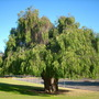 Agonis flexuosa - Australian Willow Myrtle (Agonis flexuosa - Australian Willow Myrtle)