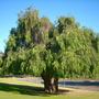 Agonis flexuosa - Australian Willow Myrtle (Agonis flexuosa - Australian Willow Myrtle)