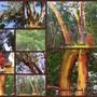 Madrona Trees for TT