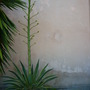 Agave desmettiana 'variegata'  - Dwarf Variegated Agave (Agave desmettiana 'variegata'  - Dwarf Variegated Agave)