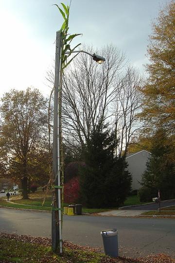 25 feet 9 inch Tehua corn next to a street light