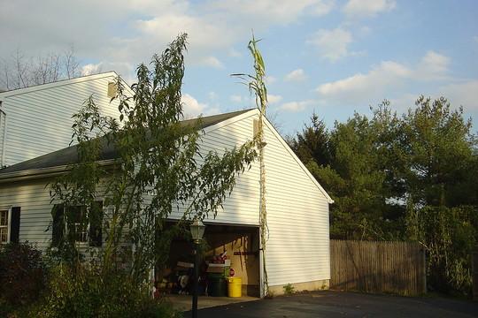 25 feet 9 inch tall corn next to my garage