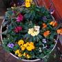 Dwarf Wallflowers and Violas