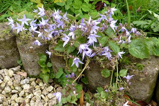 Campanula poscharskyana (Trailing Bellflower) (Campanula poscharskyana (Serbian bellflower))