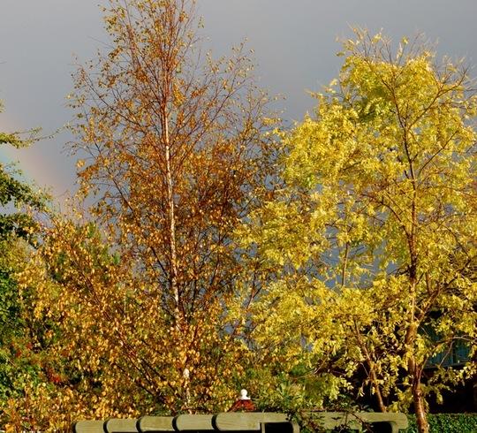 Autumn Trees at the bottom of our garden.  (Robinia pseudoacacia (False acacia))