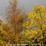 Autumn Trees at the bottom of our garden.  (Robinia pseudoacacia (False acacia))