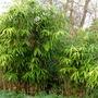 Bamboo (Bambusa vulgaris (Common Bamboo))