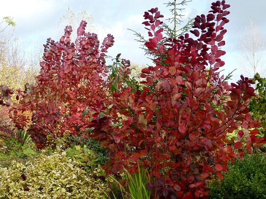 Cotinus coggygria 'Royal Purple' (Cotinus coggygria 'Royal Purple')