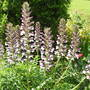 Acanthus Spinosus (Bear's Breeches) (Acanthus spinosus (Bear's breeches))