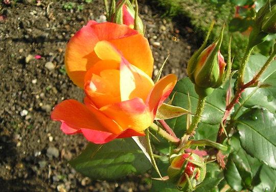 """Rose """"Grandmère Jenny"""" (R)"""